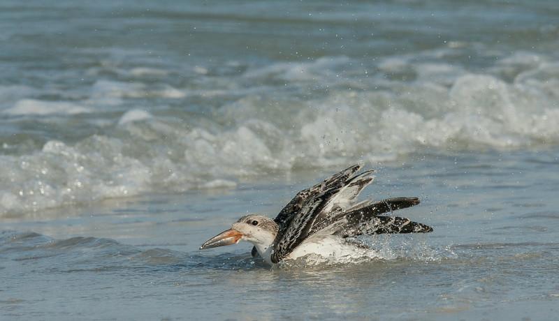 Bathing Juvenile  Skimmer
