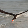 Black Skimmer, Skimming the Surf