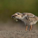Black Skimmer chick