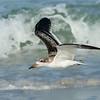 Juvenile Black Skimmer in Flight