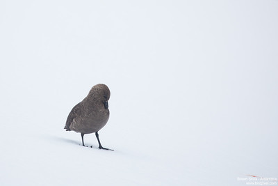Brown Skua - Antarctica