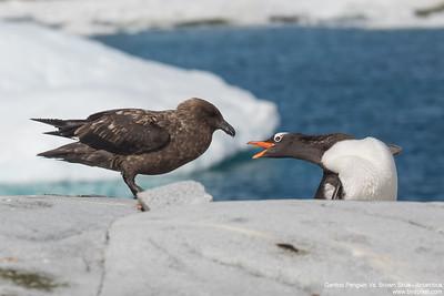 Gentoo Penguin Vs. Brown Skua - Antarctica