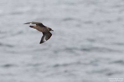 Chilean Skua - Chile