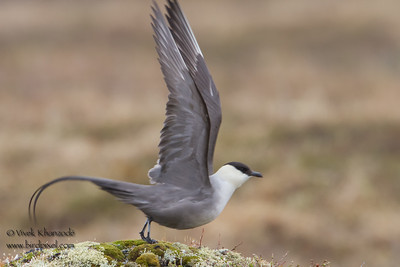 Long-tailed Jaeger - Nome, AK, USA