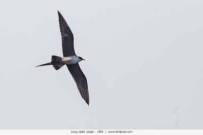 Long-tailed Jaeger - USA