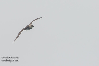 Pomarine Jaeger - SCVAS Farallones Pelagic trip - off Half Moon Bay, CA, USA