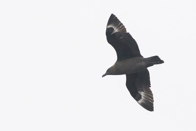 South Polar Skua - Off Half Moon Bay, CA