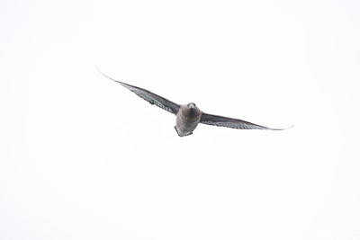 South Polar Skua - Antarctica