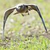 long-tailed jaeger: Stercorarius longicaudus, Ormand Rd., Winchester, Ontario
