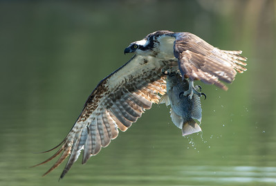Young Osprey with a nice catch, 12-May-2013