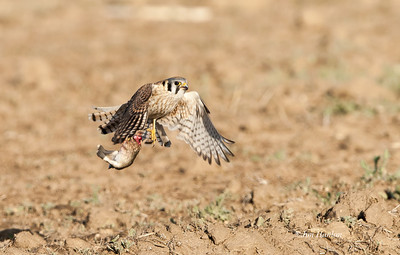 American Kestrel takes rabbit after winning aerial battle with Cooper's Hawk
