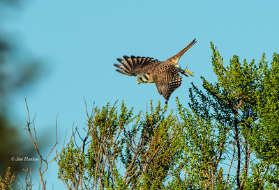 Falco spaverius female hunting for insects before sunset on 14-Sep-2012.