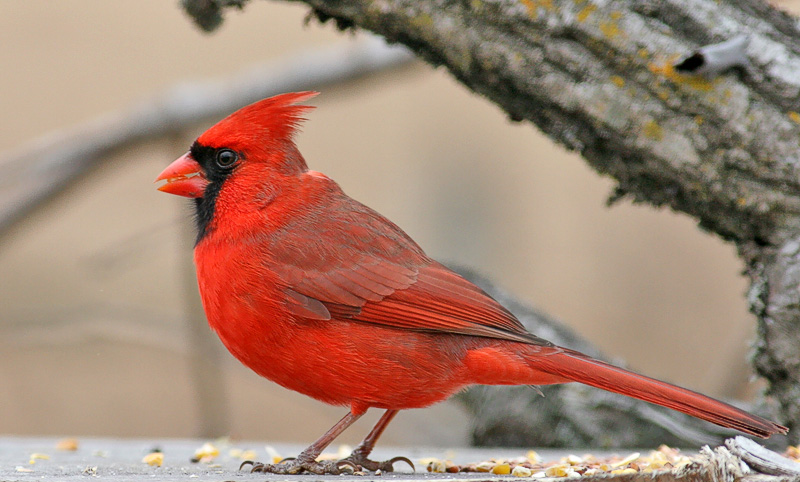 Male Cardinal. Had a 1.4xTC on to shoot this.