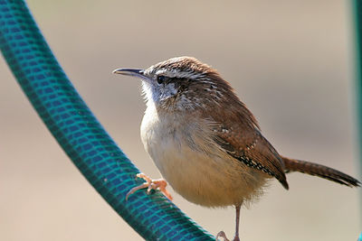 Taken with my 20D+200 f/2.8L Lens+two 1.4xTC's stacked. House Wren.