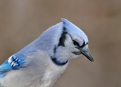Portrait of a Bluejay.