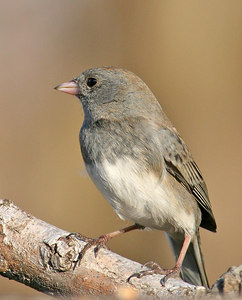 A little Junco.