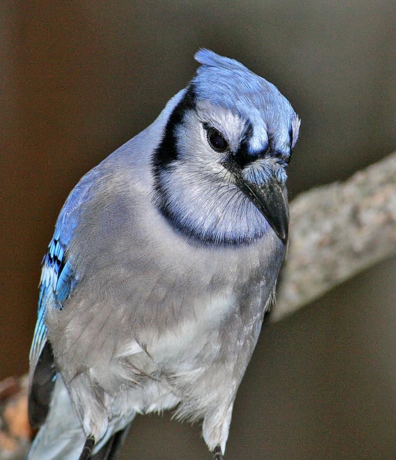 Bluejay #1