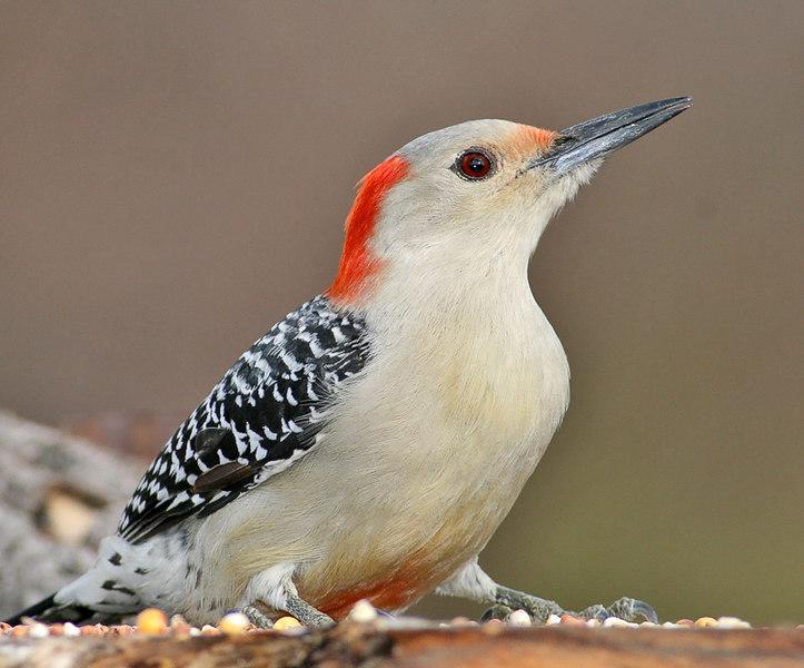 Redbellied Woodpecker.