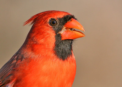 Portrait of a Cardinal.