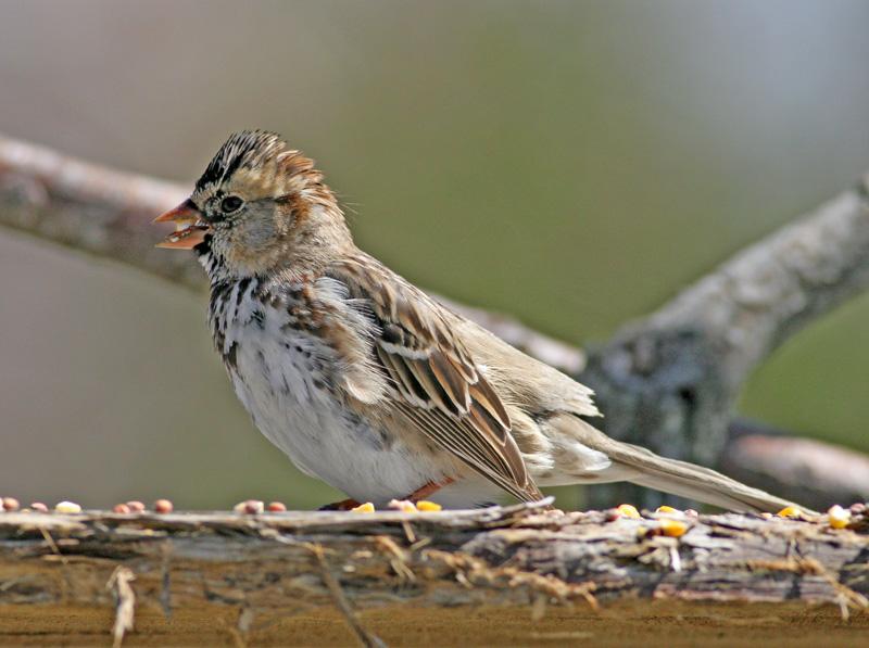Harris's Sparrow.