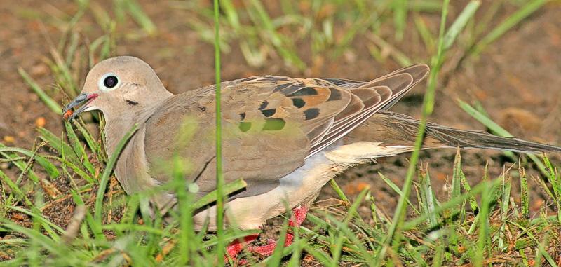 Dove feeding on Milo.
