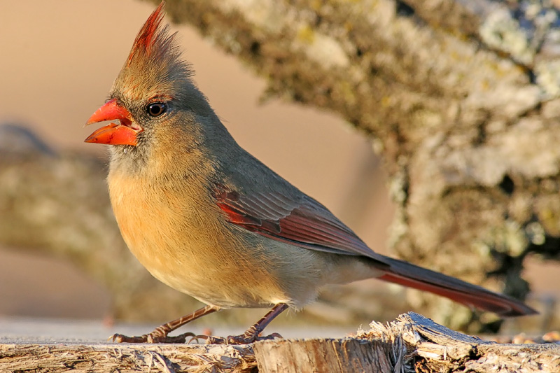 Another Female Cardinal.
