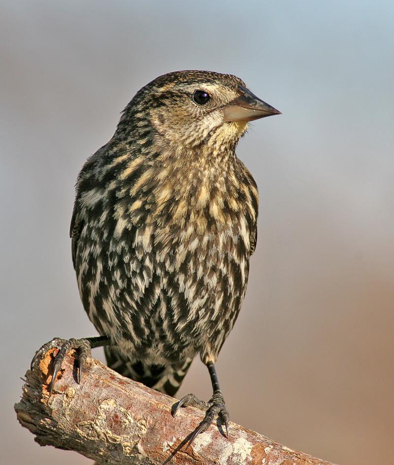 Female Red-winged Blackbird.