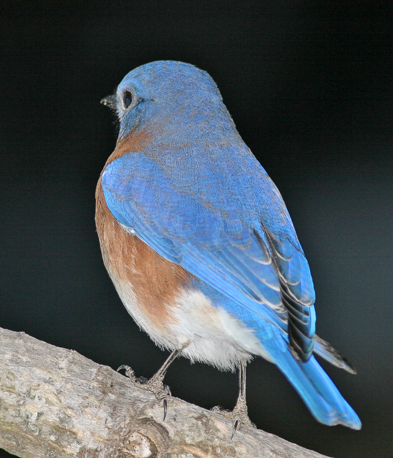 This Bluebird didn't want to look at me!