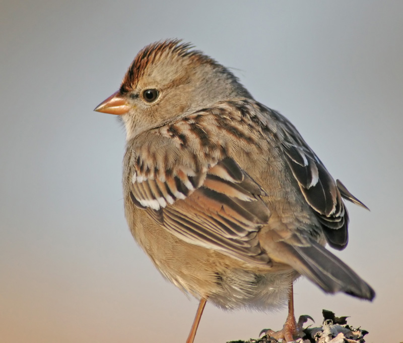 Another Sparrow. Haha!