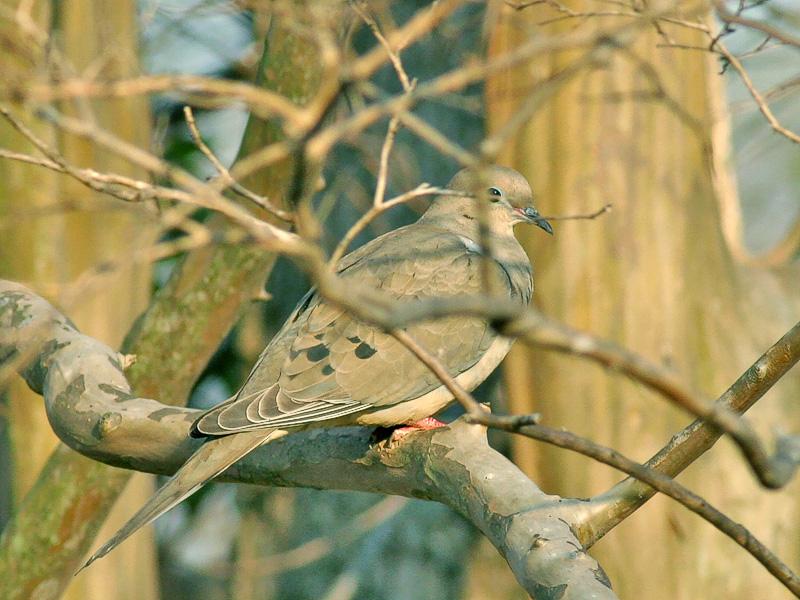 Dove in the Tree. Yep, it's in a Tree. Haha!