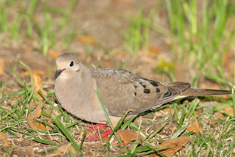 Aw another cute little Dove. Haha!