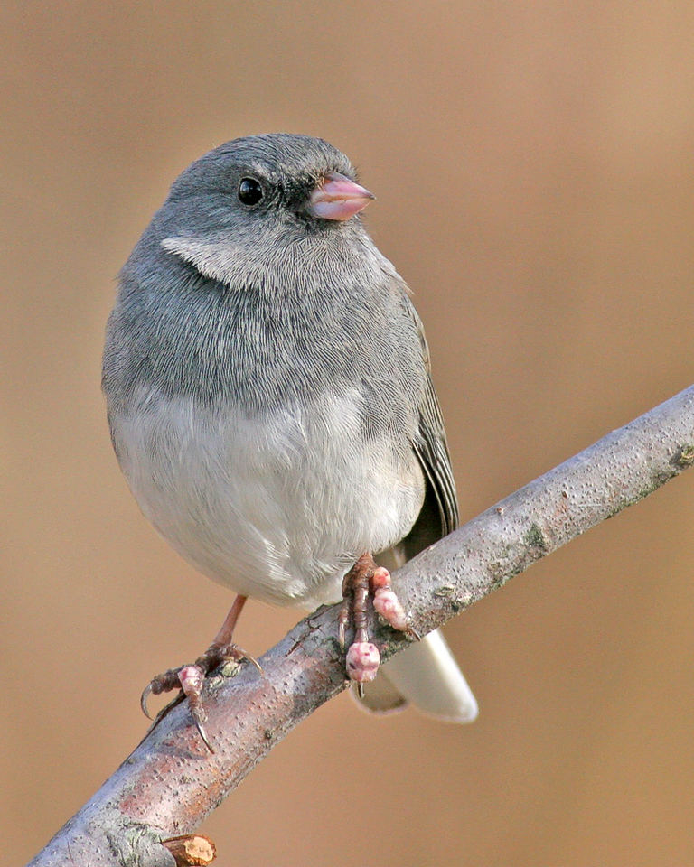 This Little Junco has some kind of grwth growing on its feet. Poor little Bird.