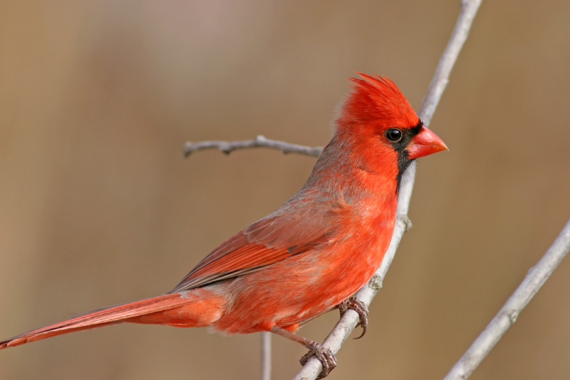 Male Cardinal. This is the best one I've ever taken.