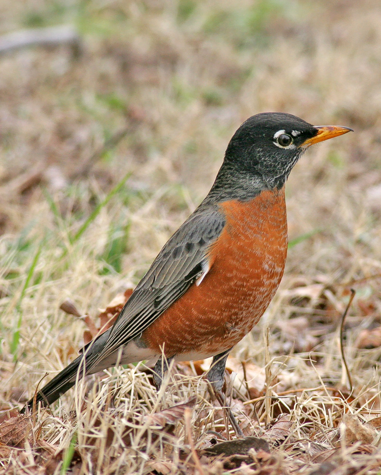 First Robin to show up here on the Ranch.