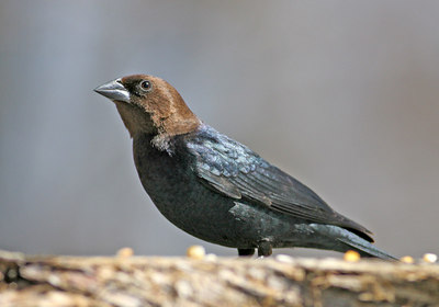 Brown-headed Cowbird. (Not a Cowboy) Haha!
