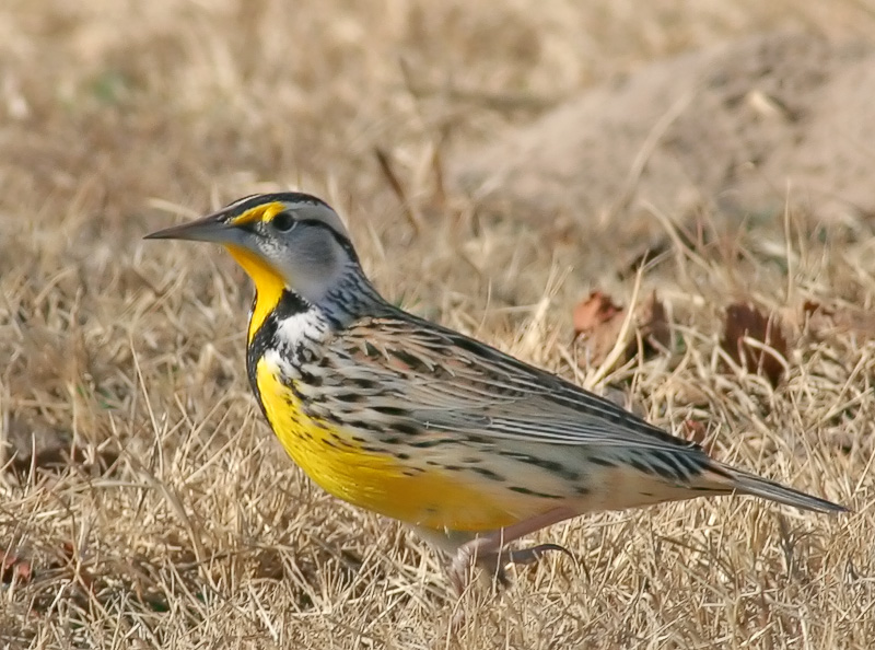 A better view of the Western Meadowlark.