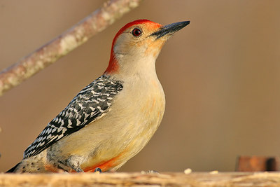 Red-bellied Woodpecker. Ain't it purty? Haha!