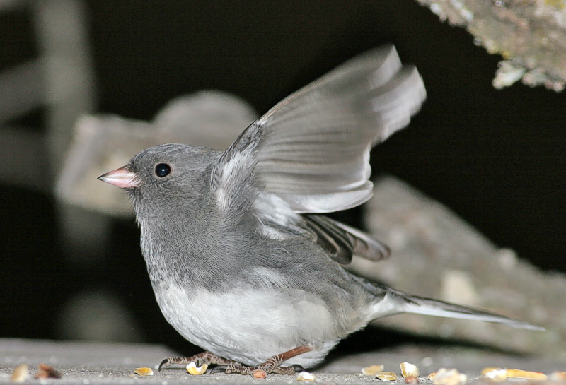 Little Junco ready to take flight. HA! I think it spotted me.