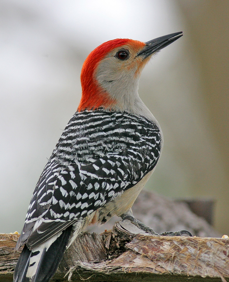Red-bellied Woodpecker. It had to show me its backside. Haha!