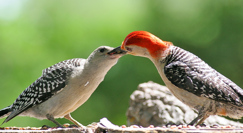 Papa Red-bellied Woodpecker feeding it's offspring. Haha!