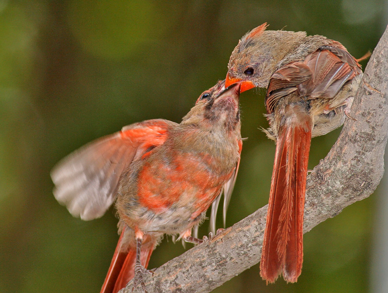 Mama Cardinal feeding her youngin. HA!
