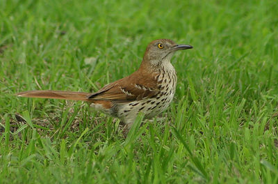 "Taken with my Cheap Sigma 70-300DL Lens. ""Brown Thrasher"" Sorry that Little Bird above me don't have a Name yet. (Grin)"
