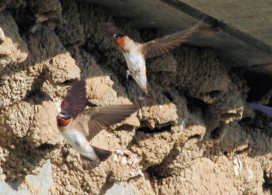 Cliff Swallows in flight