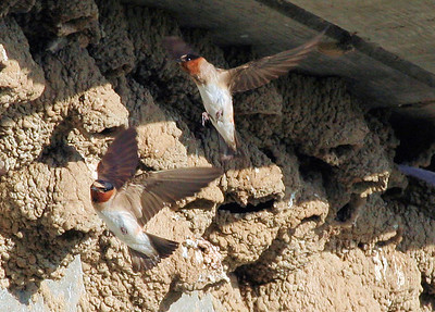 Cliff Swallows in flight