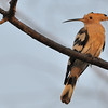 Common Hoopoe-D300 ,300 2.8vr w/TC1.4