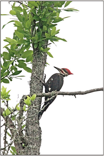 Pileated Woodpecker, female: 5/8/2006