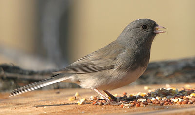 "Taken with my Bigma Lens. ""Slate-colored Junco"""