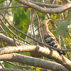 Hoopoe at long distance