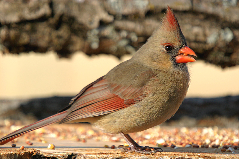 """Taken with my Bigma Lens. """"Female Cardinal"""" Same one as above."""