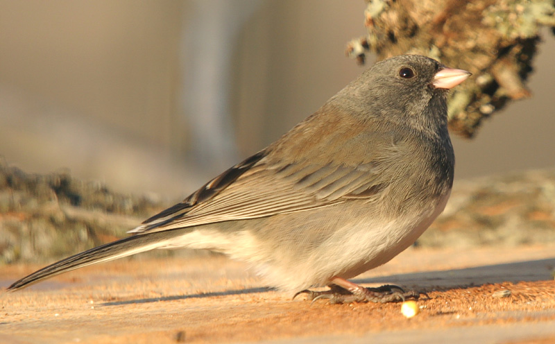 Taken with my Bigma Lens. Just another Common Sparrow. HA!